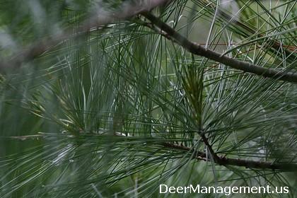 Deer Diets, Deer Nutrition and Pine Needles